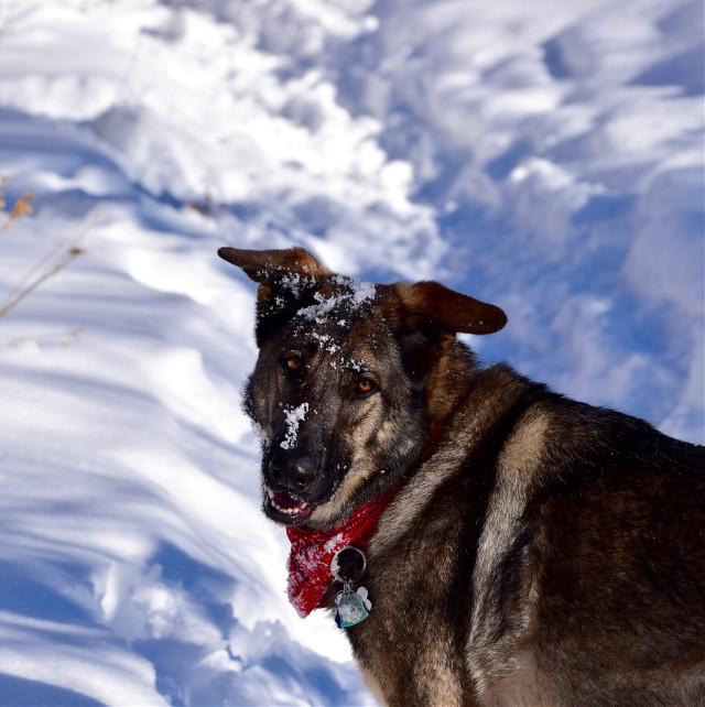 Snow Shepard #naturefreetoedit#artlandscape #dog#seasons