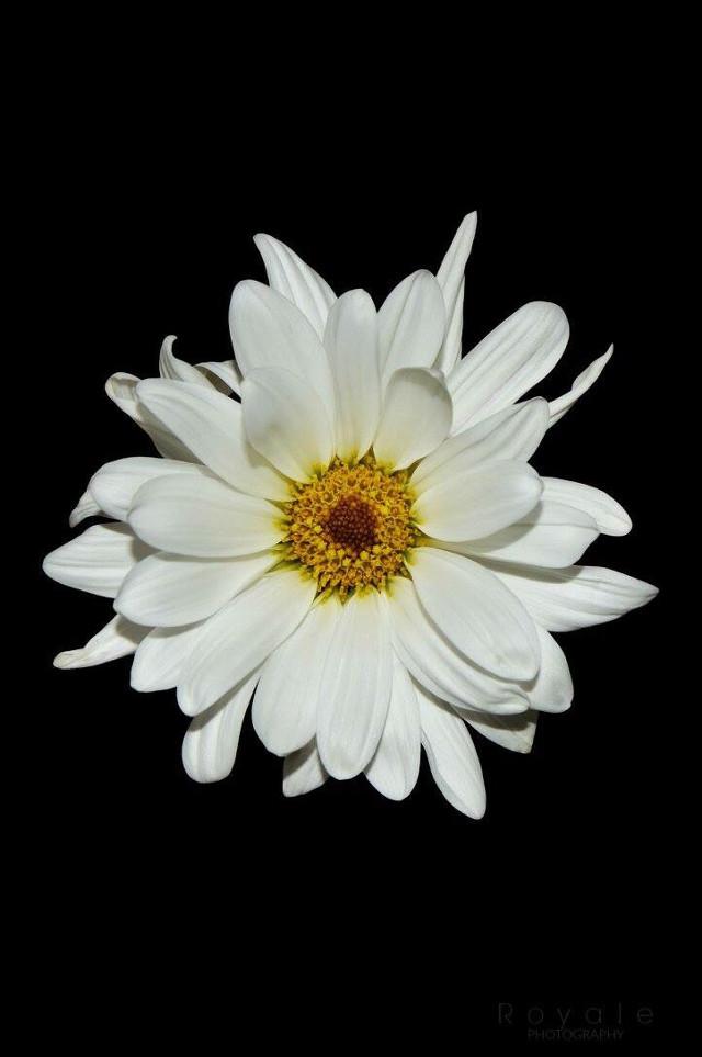 © Royale Photography   #daisy #flower #white #yellow #black #photoshop #adobephotoshop #lightroom #adobelightroom #flowerphotography #naturephotography