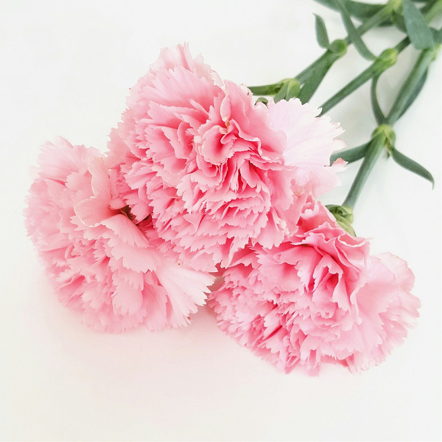 #carnations #pink #flower #nature
