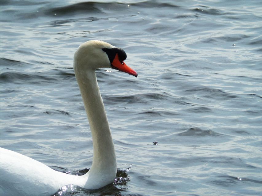 Good Morning ❤️ #nature #swan