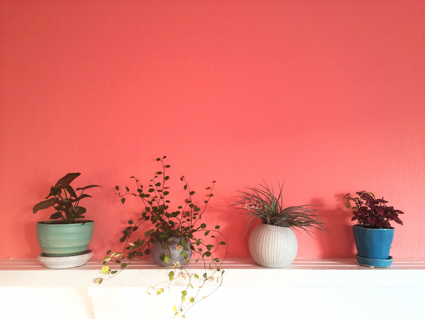 pink walls, cute plants. my new apartment is slowwlllyyyy coming together! #softcolors #candyminimalism #pink #plants #houseplants #stilllife #freetoedit