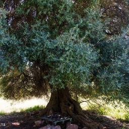 natura ulivoselvatico ulivoantico scampagnata passeggiando