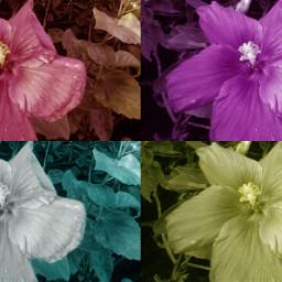 colorsplash cute nature flower frommygarden freetoedit