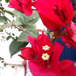 flower nature beautiful red