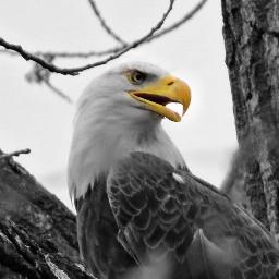eagle birdofprey wildlife nature blackandwhite