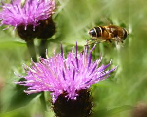 photography myphoto flower centaurea knapweed