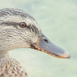 photography nature animal duck profile