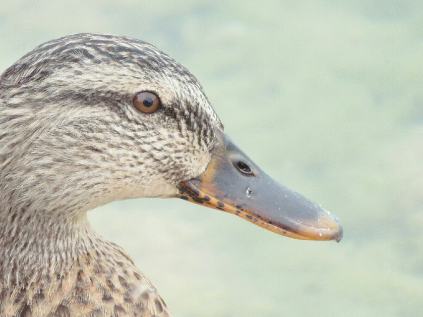 #photography #nature  #animal  #duck  #profile  #grey  #closeup