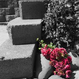 freetoedit blackandwhite colorsplash flowers