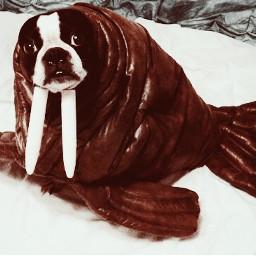 bostonterrier walrus dogs halloween costume